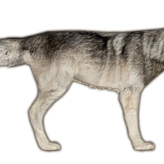 Eastern Timber Wolf (Bonus Download)