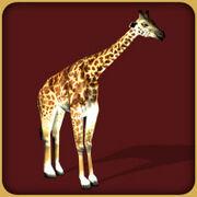 Masai Giraffe2