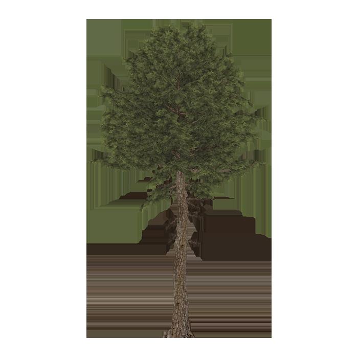 Maritime Pine (Geert, Nessich & Thom)