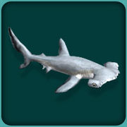 File:Scalloped Hammerhead.jpg
