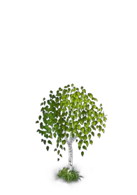 File:Birch Tree 2.png