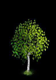 File:Birch Tree 3.png